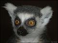 Orange eyes (4923964775).jpg
