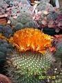 Orange flowered Rebutia (3424303831).jpg