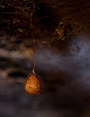 Orange spider egg sac.jpg