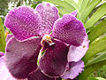 Orchids in Thailand 2013 2725.jpg