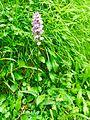 Orchis de Savoie.jpg