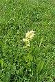 Orchis provincialis kz02.jpg