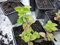 Origanum vulgare young plant 4.JPG