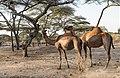 Oromia IMG 5148 Ethiopia (38686929875).jpg
