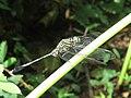 Orthetrum sabina - Green Marsh Hawk at Kottiyoor (4).jpg