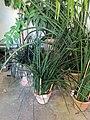 Orto botanico, fi, serra calda, sanseveria cylindrica.JPG