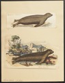 Otaria lobata - 1700-1880 - Print - Iconographia Zoologica - Special Collections University of Amsterdam - UBA01 IZ21100095.tif