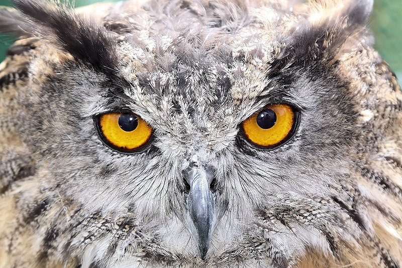 File:Owl - Duxford August 2009 (3842951237).jpg