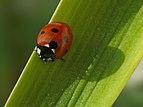 P1170487 Coccinella septempunctata.jpg