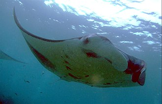 Giant oceanic manta ray - M. birostris from Male Atoll, Maldives