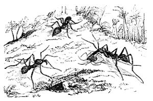 Foraging ants (Eciton drepanophara)
