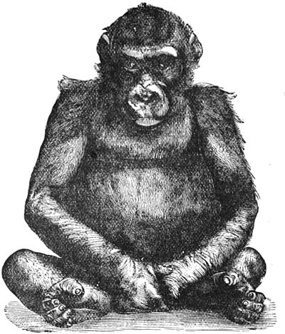 PSM V28 D762 Young male gorilla from the berlin specimen 1876 77.jpg
