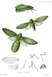 <i>Cystosoma saundersii</i> species of insect