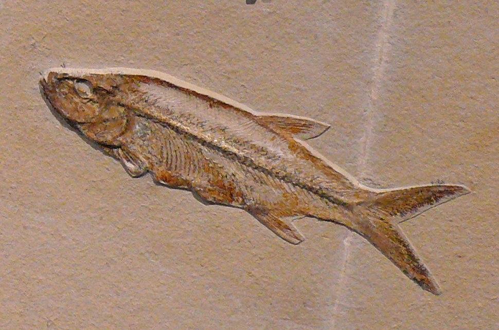 Pachythrissops propterus
