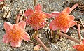 Paintbrush Lilies (Haemanthus coccineus) (Amaryllidaceae from South Africa ...) (31237517738).jpg