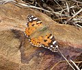 Painted Lady. Vanessa cardui (33068715355).jpg