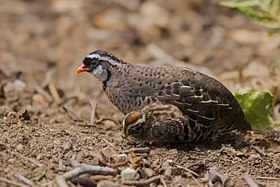 Painted bush quail male with a chick.jpg