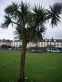 Palm Tree on Green at Rothesay - geograph.org.uk - 704762.jpg