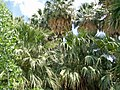 Palms, Warm Springs, Nevada.jpg