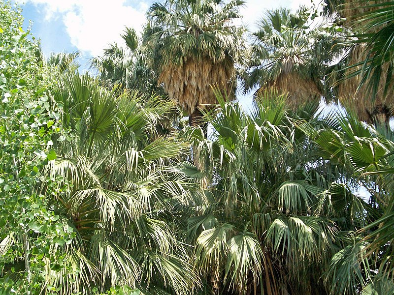 Palms, Warm Springs, Nevada.jpg