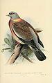 Palumbus Casiotis Eastern Wood Pigeon, Ring Dove.jpg