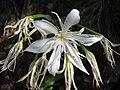 Pancratium illyricum 2 (Corse).JPG
