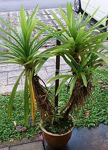 Pandanus amaryllifolius - Wikipedia