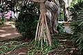 Pandanus utilis roots in the Weyler's Square.jpg