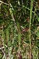 Panicum virgatum Shenandoah 12zz.jpg