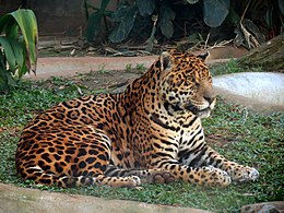 Panthera onca jaguar SP ZOO.jpg