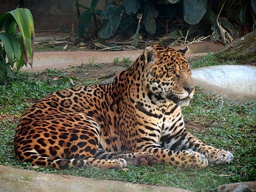 El Jaguar (Panthera Onca) uno de los felinos del amazonas mas representativos