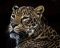 Panthera pardus -Houston Zoo, Texas, USA -head-8a.jpg