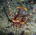 Panulirus longipes Réunion.JPG