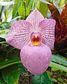 Paphiopedilum Magic Lantern 'Candor Fuschia Frost'.jpg