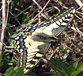 Papilio machaon bgiu.jpg