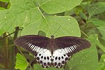 Papilio polymnestor in Kadavoor.jpg