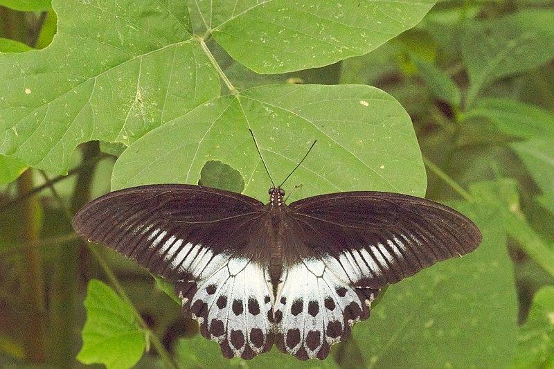 File:Papilio polymnestor in Kadavoor.jpg