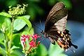 Papilio polytes polytes female f.polytes 20130908.jpg