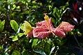 Papillon citron sur Hibiscus Guadeloupe.jpg
