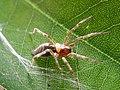 Parasite170127-fig 2 inset ovipositor Pimplinae - Agelena sivatica.jpg