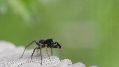 File:Pardosa courtship.ogv