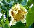 Parijat Flower.jpg