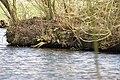Park Cronesteyn IJsvogel (Alcedo atthis), full frame (32532841183).jpg