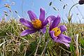 Pasque Flowers (Pulsatilla vulgaris) (17209106741).jpg