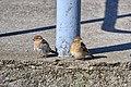 Passerotto (Passer italiae) - Italian sparrow, Stresa, Italia, 08.2018.jpg