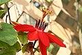 Passiflora coccinea 4zz.jpg
