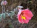Passiflora trifoliata (8640861812).jpg