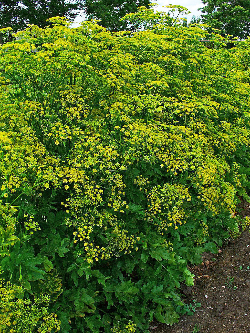 New Naturalism - yellow turnip flowers Pastinaca sativa