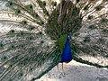 Pavo real (49037215608).jpg