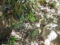 Pelargonium tabulare 2010-12-16 01-19-08 PM.jpg